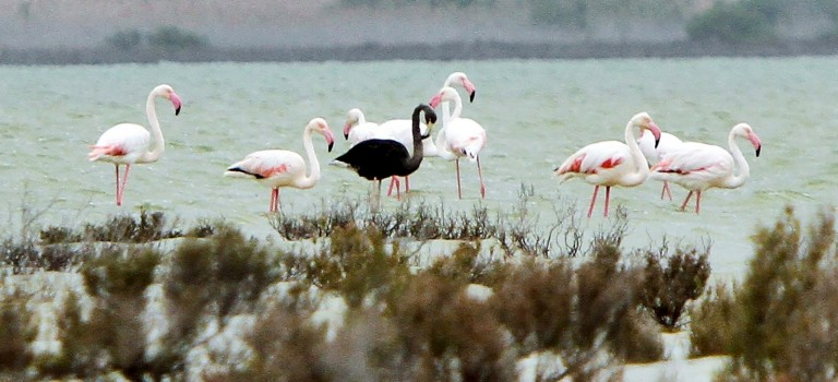Rare black flamingo returns to base