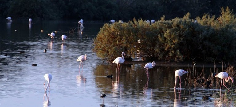 First flamingos arrive at Larnaca salt lake