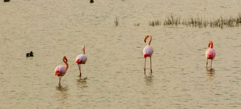 1180 flamingos at Larnaca Salt Lake and counting